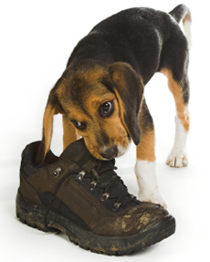 puppy eating shoe